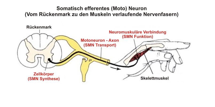 Die Stammzellentherapie und ihr Nutzen - Dr. Hans S. Keirstead